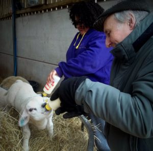 Feeding the lambs at Upper Moreton Rural Activities